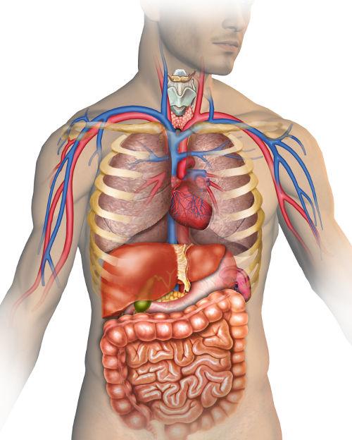 Verdauungssystem des Menschen